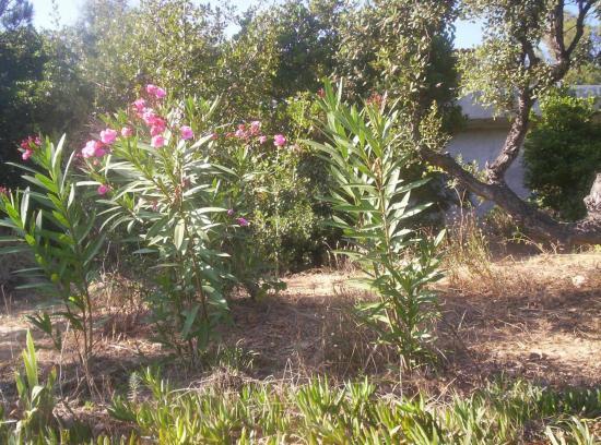 The provençal scent of rose-laurel
