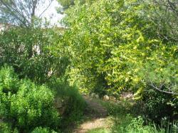Le mimosa-chenille se voûte sur le chemin
