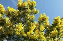 mimosa in Winter